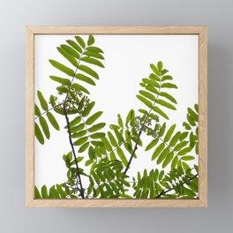 Green Rowan Leaves White Background #decor #society6 #buyart Framed Mini Art Print
