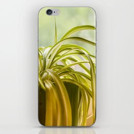 Chlorophytum, indoor potted plant, close up - image iPhone Skin
