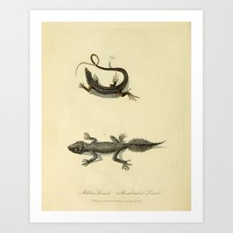 """Ribbon Lizard and Broad-Tailed Lizard"" by Sarah Stone, 1790 Art Print"