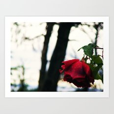 A Red Rose Art Print