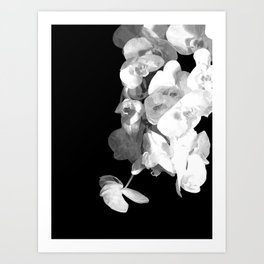 White Orchids Black Background Art Print