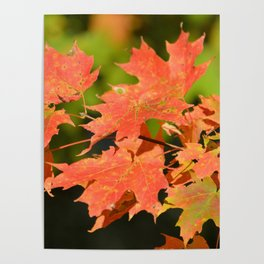 Fall Autumn Maple Leaves Red Orange Autumnal Colors Poster