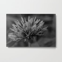 Black and white dandelion covered by raindrops Metal Print