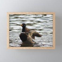 Mallard Duck flapping wings Framed Mini Art Print