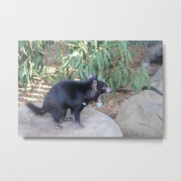 Tasmanian Devil asserting dominance on a rock Metal Print