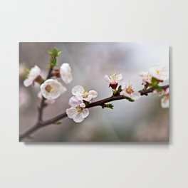 Amazing Japanese Apricot Flowers On Grey Metal Print