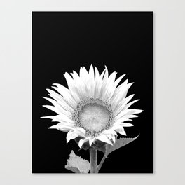 White Sunflower Black Background Canvas Print