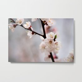 Pinkish Japanese Apricot Flowers On Grey Metal Print