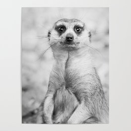 Meerkat portrait Poster