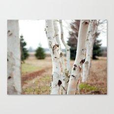 Line of Birches Canvas Print