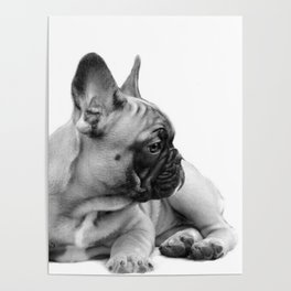 FrenchBulldog Puppy Poster