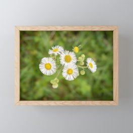 Fleabane Wildflower Framed Mini Art Print
