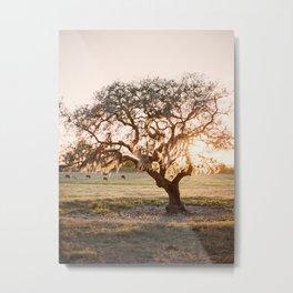 Lone Oak at Golden Hour / Florida Fine Art Film Photography Metal Print