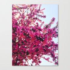 Apple Blossom-2014 Canvas Print