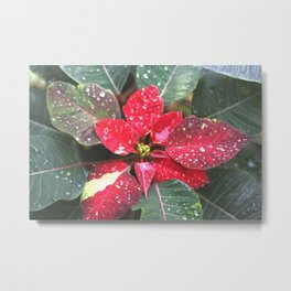 Raindrops on a poinsettia Christmas flower Metal Print