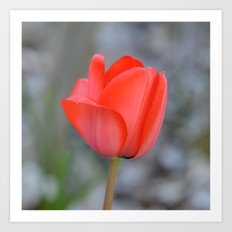 Red Tulip Flower Art Print