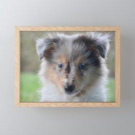 Blue-eyed Portrait of a Shetland Sheepdog Puppy Framed Mini Art Print