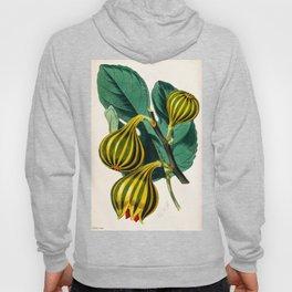 Fig plant, vintage illustration Hoody