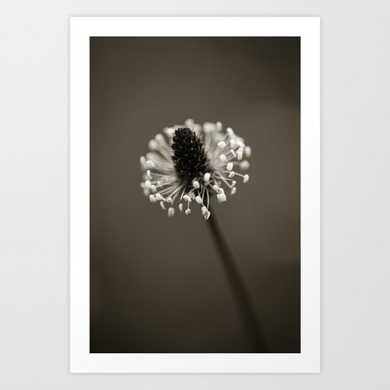 Ribwort Plantain Art Print