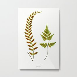 Edward Joseph Lowe - Asplenium Pulchellum and Asplenium Pumilum Metal Print
