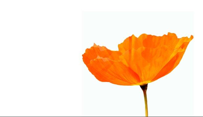 One And Only - Orange Poppy White Background #decor #society6#buyart Pillow Sham