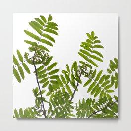Green Rowan Leaves White Background #decor #society6 #buyart Metal Print