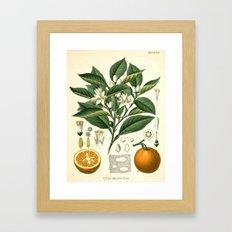 Botanical Print: Orange Blossom / Citrus Framed Art Print