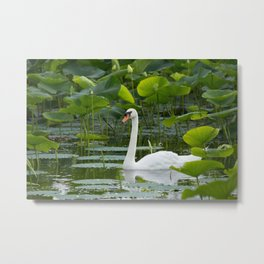 Graceful Swan Metal Print