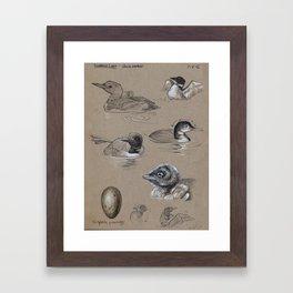 Common Loon Studies Framed Art Print