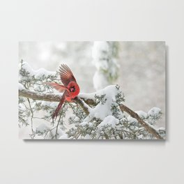 Winter Snow Flight: Northern Cardinal Metal Print