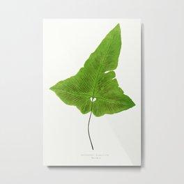 Edward Joseph Lowe - Asplenium Palmatum Metal Print