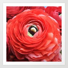 Ruby Ranunculus Art Print