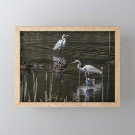 Three Great Egrets Among the Ducks, No. 2 Framed Mini Art Print