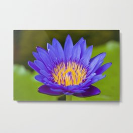 Violet and Yellow Water Lily Flower - Nature Photography Metal Print