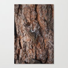 Brown Creeper Nuthatch Canvas Print