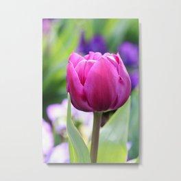 Purple Tulip At Bowral, NSW Metal Print