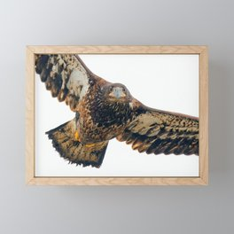 Young Bald Eagle in Breathtaking Flyby Framed Mini Art Print