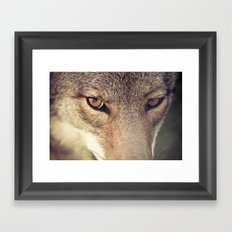 In the eyes of the Coyote Framed Art Print