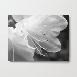 Beautiful Azalea Bloom in Black and White Metal Print
