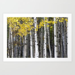Yellow, Black, and White // Aspen Trees in Crested Butte Art Print