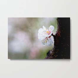 Wet Japanese Apricot Flowers On A Rainy Spring Day Metal Print