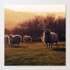 Winter sheep Canvas Print