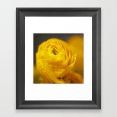 Golden Ranunculus Flowers Framed Art Print