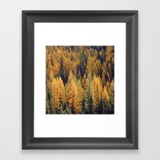 Autumn Tamarack Pine Trees Framed Art Print