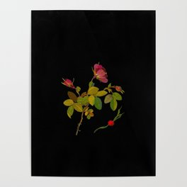 Rosa Fluvialis Mary Delany Vintage Botanical Paper Flower Collage Poster