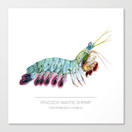 Peacock Mantis Shrimp Canvas Print
