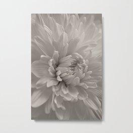 Monochrome chrysanthemum close-up Metal Print