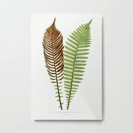 Lomaria Nuda. (Fishbone Waterfern)–Fertile and Barren F. from Ferns British and Exotic (1856-1860) b Metal Print