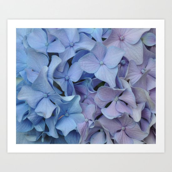 Two Tone Hydrangea Art Print