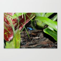 Poison Dart Frog- Young Froglet Canvas Print